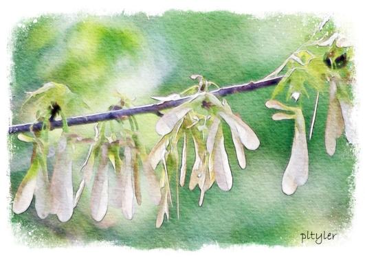 Mapleseeds