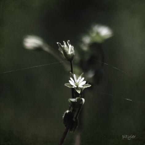 Tinyflower