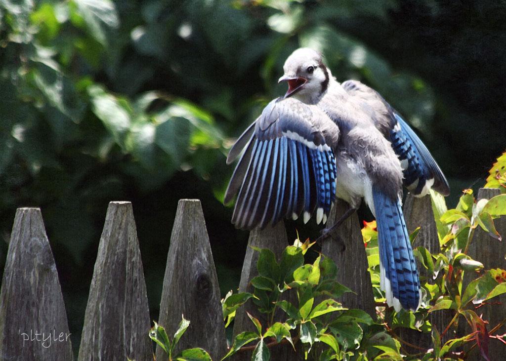 Baby Blue Jay Bird BlueJay