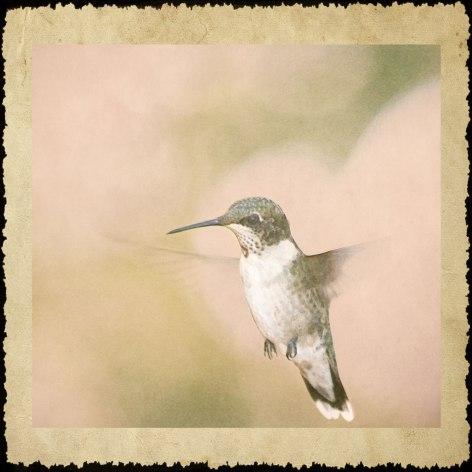 Hummingbird6