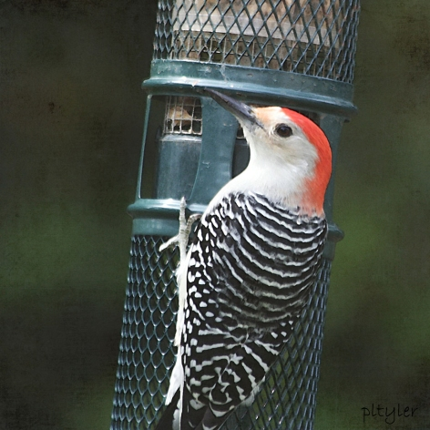 RBWoodpecker3