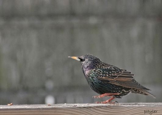 Starling3
