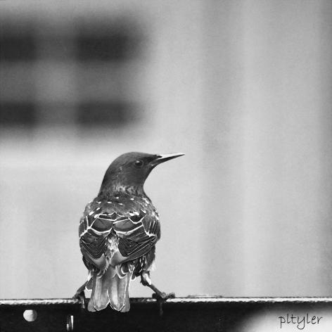 Starling5