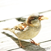 Sparrow9