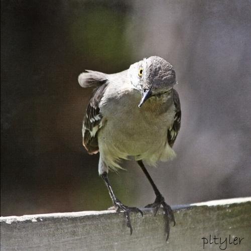 Movkingbird3